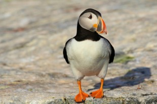 Puffin - Grand Manan Island - New Brunswick, Canada