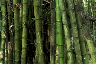 Yunque Rainforest - Bamboo